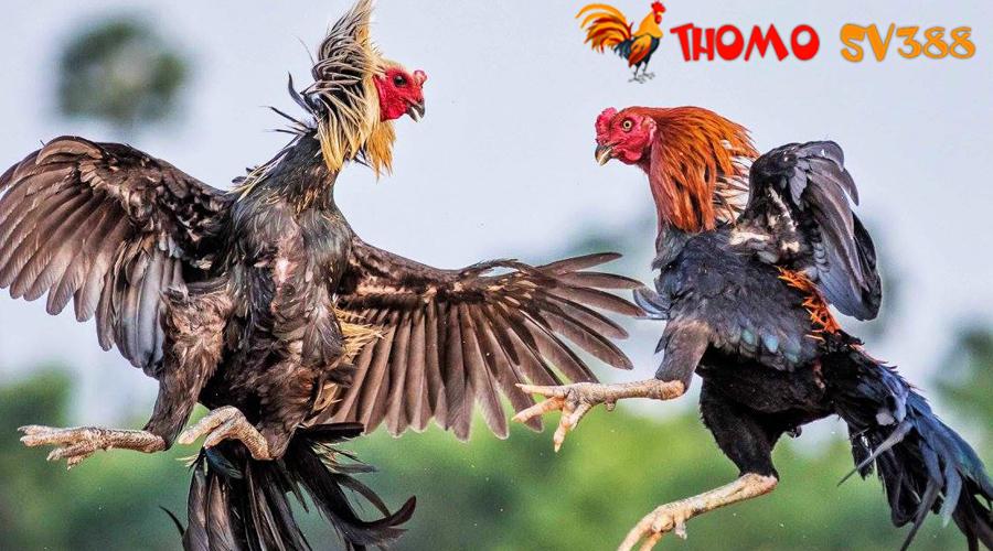 Giới thiệu nhà cái ThomoSV388 cá cược đá gà online
