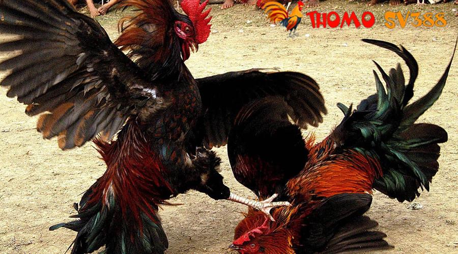 Hướng dẫn tham gia cá cược đá gà trực tuyến tại ThomoSV388